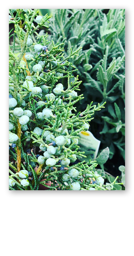 juniper-berries450x860